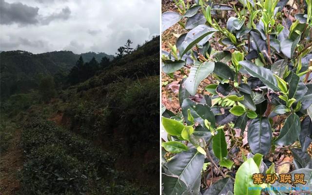 *漳平水仙茶树的生长环境