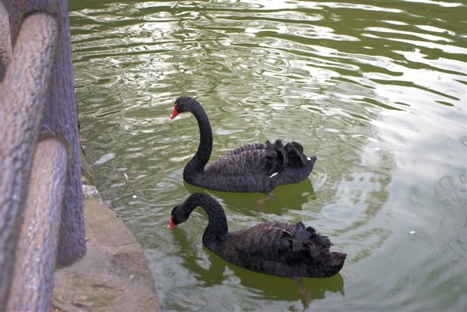 黑天鹅是几级保护动物