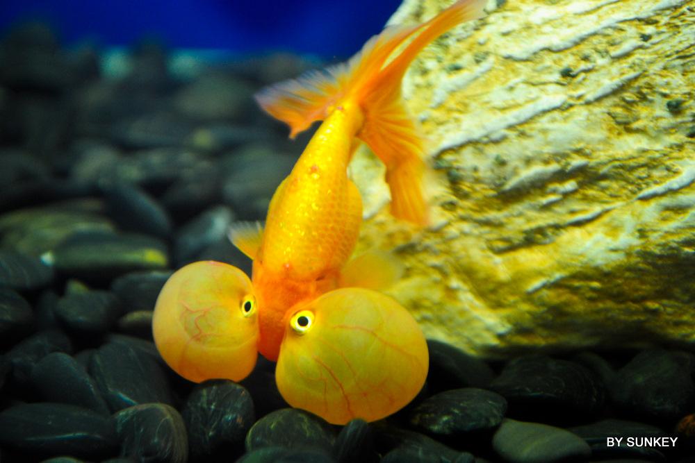 上海动物园之金鱼