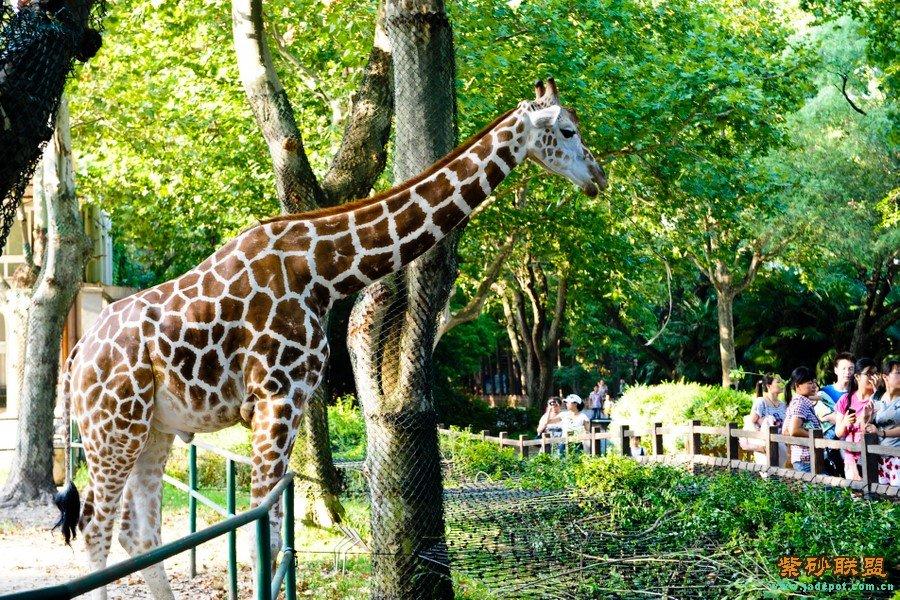 上海动物园之长颈鹿
